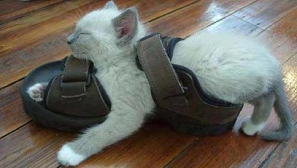 cat-shoe