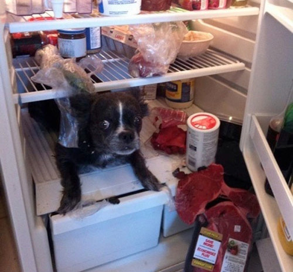 dog-fridge-shelf